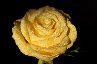 rose-2116077_640